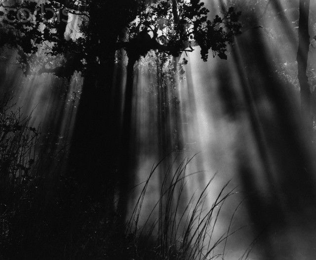 Sunbeams in Trees --- Image by © The Brett Weston Archive/CORBIS